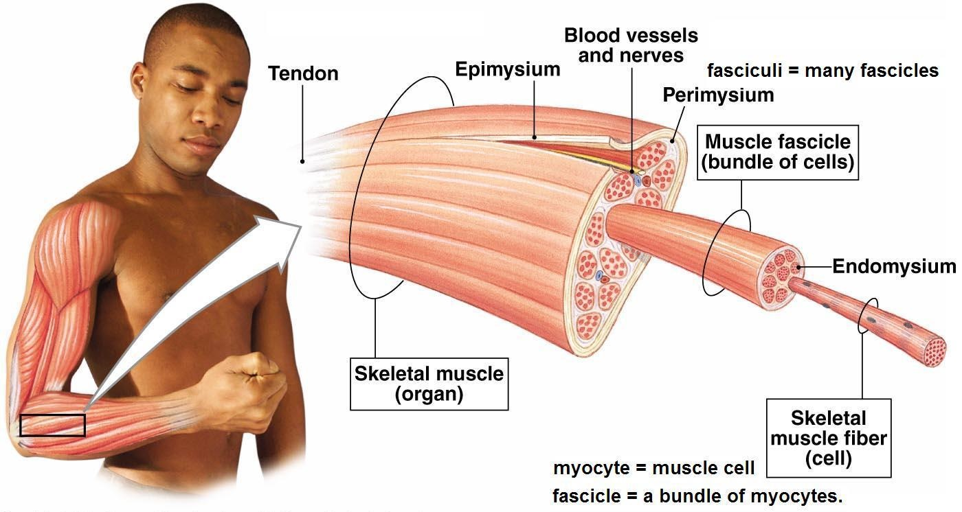 micro tears in muscles: explaining how muscle growth works, Muscles